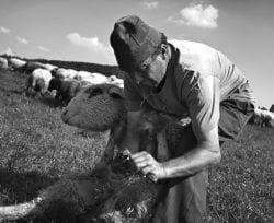 как ухаживать за копытами барана