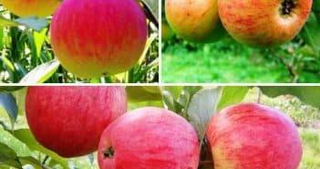 сорт яблони медуница фото