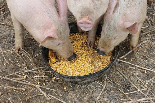 кукуруза для кормления свиней