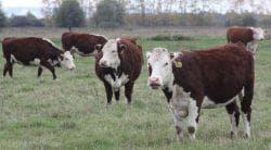 герефордская порода коров на пастбище
