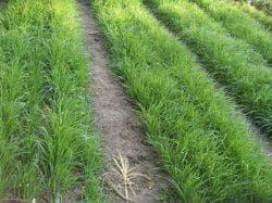 Овес как сидерат: когда сеять, особенности посева