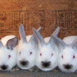 характеристика породы кроликов Бургундская