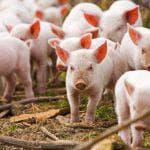 характеристики породы свиней Дюрок