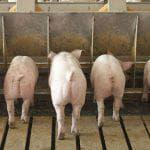 как определить что свинья беременная