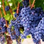 Виноград Саперави: характеристика сорта