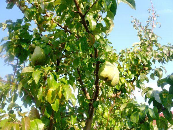 Поздние сорта груш: Мичуринская, Белорусская