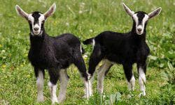козлята альпийских коз