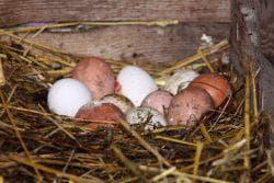 яйцо в курятнике
