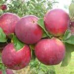 Яблони сорта Орлик: посадка, описание