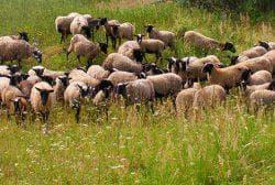 продуктивность романовской породы овец