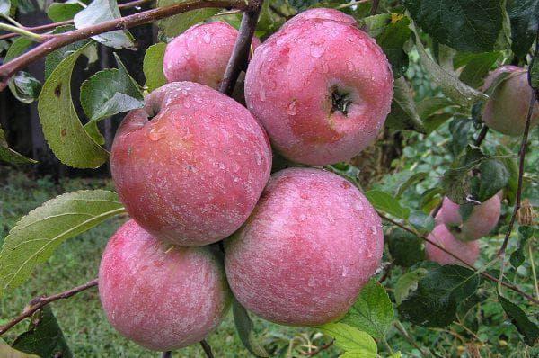 Уэлси яблоня описание
