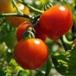 можно ли подкормить томаты мочевиной