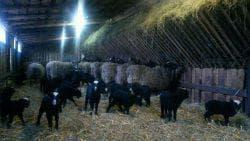 питание романовской породы овец в загоне