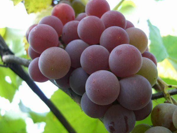 виноград Высокоурожайный столовый