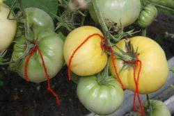 куст томат персик