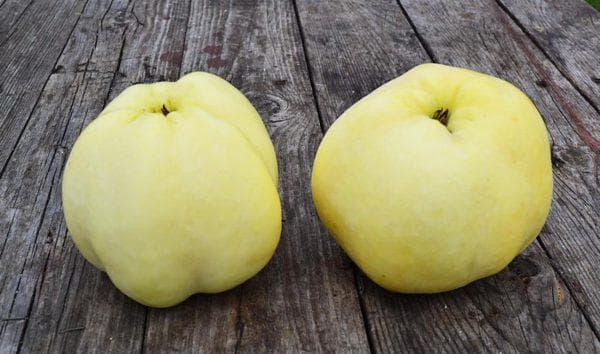 Яблоко антоновка фото