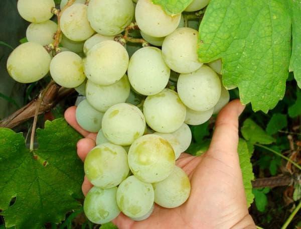 Сорт винограда Кеша: фото, отзывы о выращивание, видео