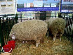 кормление куйбышевской породы овец