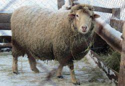 содержание куйбышевской породы овец