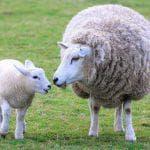 австралийский меринос овцы