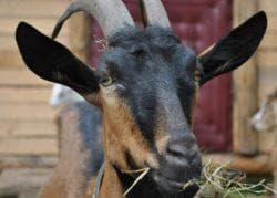 питание альпийских коз