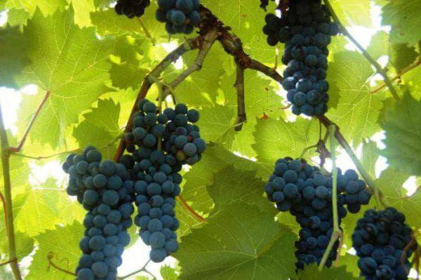 Виноград для подмосковья сорта неукрывной