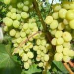 Описание сорта винограда Августин: как растить, ухаживать