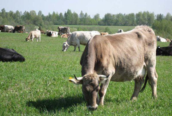 как выглядит корова