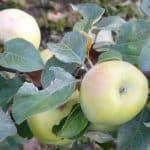 Сорт яблони Антоновка: подробное описание