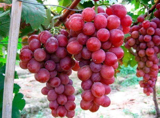 виноград Виноград красный