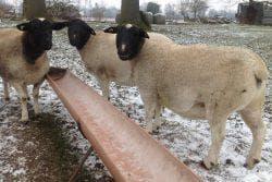 овцы дорпер в зимний период