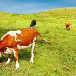 голштинская порода коров фото