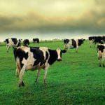 фото Швицкая порода коров