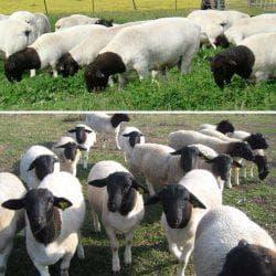 дорпер порода овец в саду и на пастбище