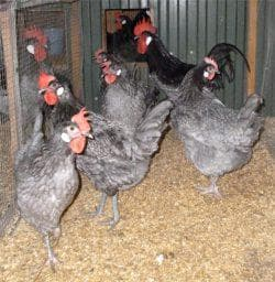 семейство кур
