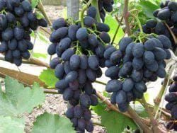 Виноград Кодрянка: описание сорта фото, видео, отзывы