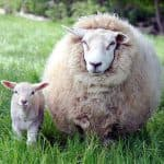 породы коз молочных без запаха