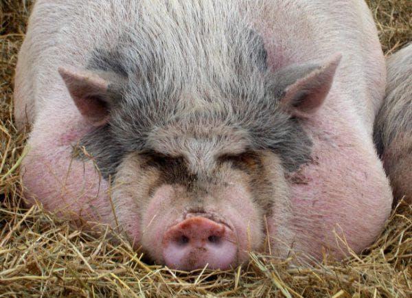 откорм свиней на сало