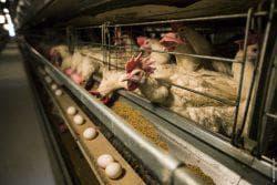 сколько корма нужно курице несушке в день