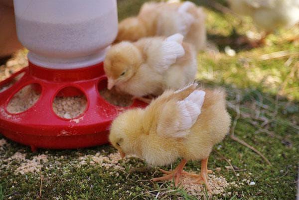 комбикорм старт для цыплят