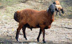 овца коричневого цвета