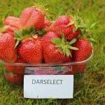 Клубника Дарселект: характеристика, описание сорта