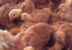 цыплята курицы породы редбро
