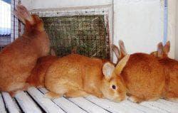 клетки для кролика бургундской породы