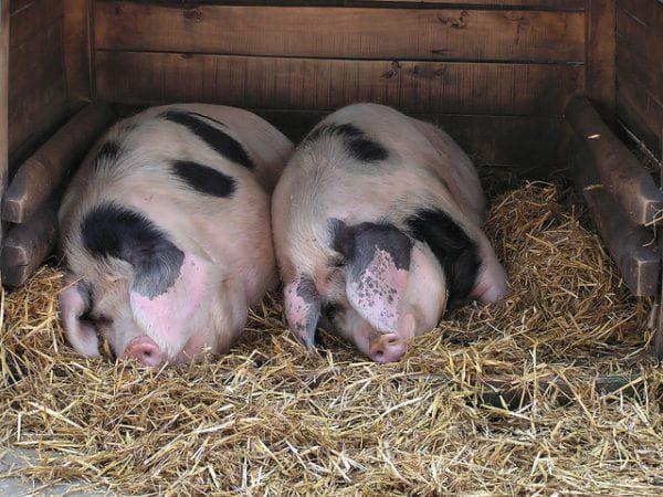 сальная порода свиней