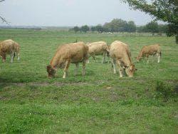 бурая швицкая порода коров