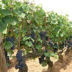 Виноград виктор описание сорта фото отзывы