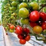 как приготовить куриный помет для подкормки помидоров