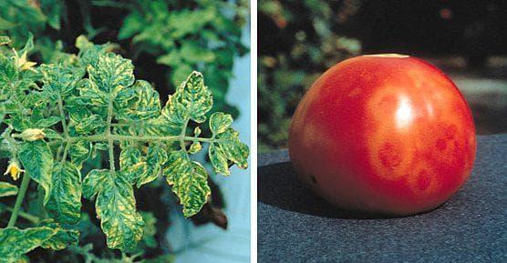 вирус табачной мозаики на помидорах
