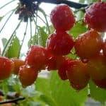 Холодостойкий сорт черешни Фатеж: описание, выращивание